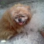 Mi mascota, su nombre era Cuco, es un pequines